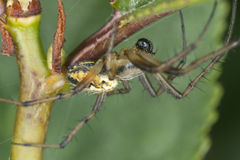 Four-spot orb-weaver (Araneus quadratus) Stock Photo