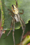 Four-spot orb-weaver (Araneus quadratus) Royalty Free Stock Photo