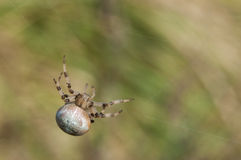 Four-spot orb-weaver, Araneus quadratus Stock Photography