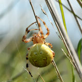 Four spot orb weaver (Araneus quadratus) Royalty Free Stock Photos