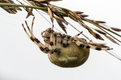Four spot orb weaver Araneus quadratus. A female spider hanging upside down on a straw. Four spot orb weaver Araneus quadratus. A female spider in the family Stock Photos