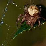 The four-spot orb-weaver, Araneus quadratus Stock Photography