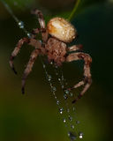The four-spot orb-weaver, Araneus quadratus Royalty Free Stock Photography