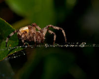 The four-spot orb-weaver, Araneus quadratus Royalty Free Stock Images