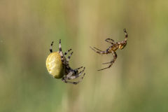 Four-spot orb-weaver, female and male Stock Images