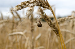 Four-spot orb-weaver spider web wheat ears. Four-spot orb-weaver araneus quadratus spider on web between wheat ears Stock Image