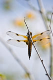 Four-spotted Chaser. The picture shows a four-spotted chaser royalty free stock photo