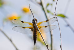 Four-spotted Chaser. The picuter shows a four-spotted chaser Stock Photos