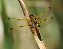 Four-spotted Chaser Royalty Free Stock Image