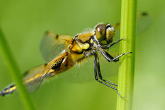 Four-spotted Chaser Royalty Free Stock Photos
