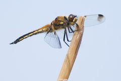 Four spotted Chaser Stock Photos