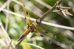 Four-spotted Chaser Stock Images