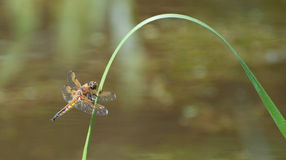 Four Spotted Chaser Royalty Free Stock Image