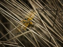 Four-spotted chaser dragon-fly in reed royalty free stock images