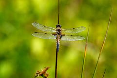 Four spotted chaser dragonfly Royalty Free Stock Image