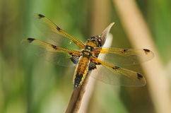 Four-spotted Chaser Dragonfly Stock Image