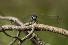 Four-spotted Chaser Dragonfly. On the Kemper heide, Netherlands Royalty Free Stock Images