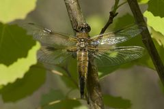 Four-spotted Chaser Dragonfly. With spread wings on the Kemper heide, Netherlands Royalty Free Stock Photography