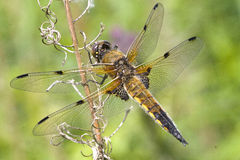 Free Four-Spotted Chaser Dragonfly Stock Images - 46141374