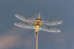 Four spotted Chaser Dragonfly Royalty Free Stock Photo