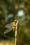Four-spotted chaser dragonfly close-up. Royalty Free Stock Photo
