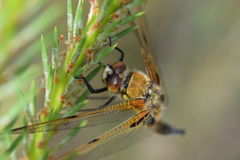 Four-spotted chaser Royalty Free Stock Photography