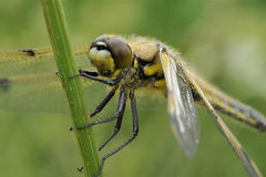Four-spotted Chaser Royalty Free Stock Images