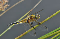 Four-spotted Chaser Dragonfly Stock Photography