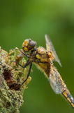 Four-spotted Chaser Dragonfly Stock Images