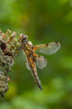 Four-spotted Chaser Dragonfly Royalty Free Stock Photos