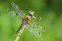 Four-spotted Chaser Dragonfly Royalty Free Stock Image