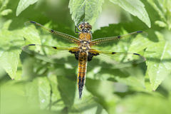 Four Spotted Chaser Dragonfly Stock Images
