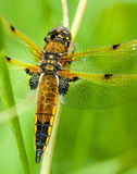 Four-spotted chaser Stock Image