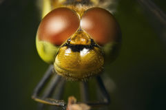 Four spotted Chaser. Frontal macro view of a four patch Dragonfly libellula quadrimaculata sitting on a branch Royalty Free Stock Photo