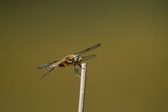 Four-spotted Chaser (Libellula quadrimaculata) Royalty Free Stock Images