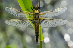 Four Spotted Chaser (Libellula quadrimaculata) Royalty Free Stock Photography