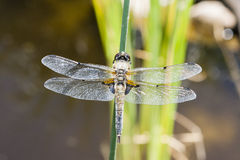 The four-spotted chaser (Libellula quadrimaculata). A dragonfly of the family Libellulidae found frequently throughout Europe, Asia, and North America Stock Photo