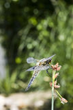 The four-spotted chaser (Libellula quadrimaculata). A dragonfly of the family Libellulidae found frequently throughout Europe, Asia, and North America Royalty Free Stock Image