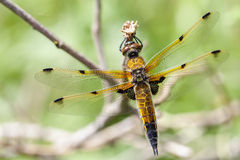 Four-spotted Chaser - macro Stock Images