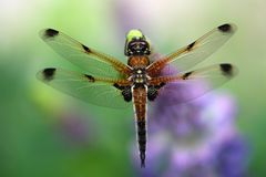 Four-spotted chaser. A macro photography of a four-spotted chaser (Libellula quadrimaculata) dragonfly stock photo