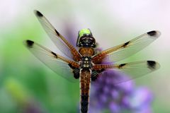 Four-spotted chaser Stock Photo