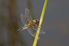 Four spotted chaser on reed stem. Royalty Free Stock Image