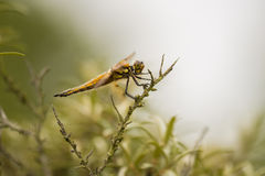 Four-spotted Chaser Stock Photography