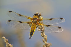 A Four Spotted Chaser on a seed head. Stock Image