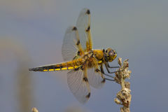 A Four Spotted Chaser on a seed head. Stock Photo