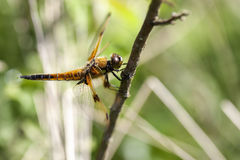 Four-spotted Chaser - side view Stock Photos