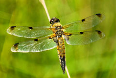 Four spotted dragonfly Stock Photos