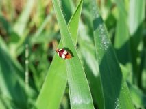 Four spotted ladybug on the grass leaf. Closeup four spotted ladybug on the green grass leaf Stock Photography