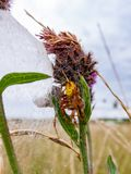 Four Spotted Orb Weaver Spider and her friend in round the corner, sat on a thistle in a British Meadow royalty free stock photos