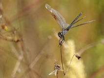 Four Spotted Pennant Dragonfly holding on to Stem Stock Photo